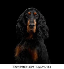 Portrait of English Setter Dog Gazing on Isolated Black Background