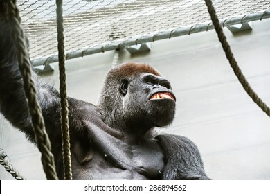 Portrait of an enraged gorilla in a zoo. Anger and rage concept.