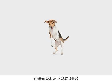 Portrait of Estonian Hound dog playing isolated over white background.
