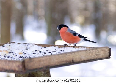 Portrait of Eurasian Bullfinch (Pyrrhula pyrrhula) sitting in the bird feeder in winter, Northern Russia