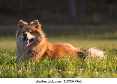 Portrait of an Eurasian dog outdoors in autumn