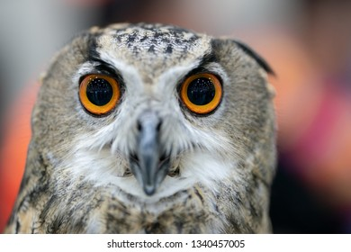portrait of Eurasian eagle owl (Bubo bubo)