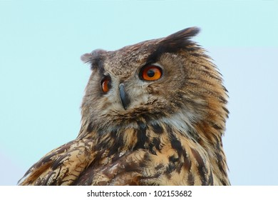 Portrait of an Eurasian Eagle-Owl (Bubo bubo) looking back at a light blue background