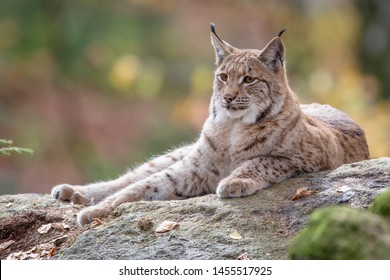 portrait of a eurasian lynx lying on a rock, blurred autumn colours in the background