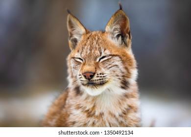 fur pelts lynx lynx fur reed cat