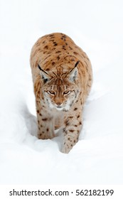 Portrait of Eurasian Lynx walking in the Wildlife scene from Czech nature. Snowy cat in nature habitat. Detail close-up portrait of orange animal in white environment.