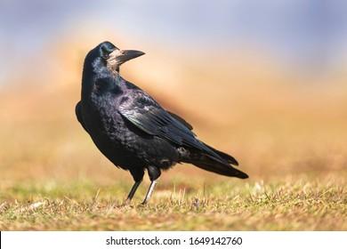 Portrait of Eurasian rook (Corvus frugilegus). Rook on earth looking for food.