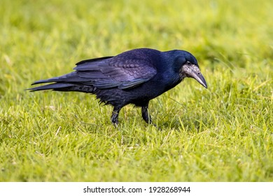Portrait of Eurasian rook (Corvus frugilegus). Black bird with bare base of bill walking in grass and looking for food. Widlife in nature. Netherlands.