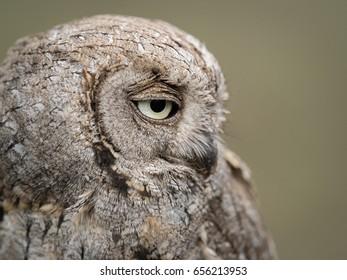 Portrait of an Eurasian scops owl (Otus scops) with big eyes