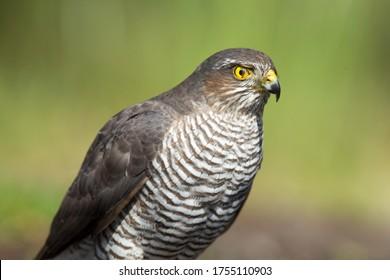 Retrato de una mujer euroasiática Sparrowhawk en Lemelerberg, Países Bajos