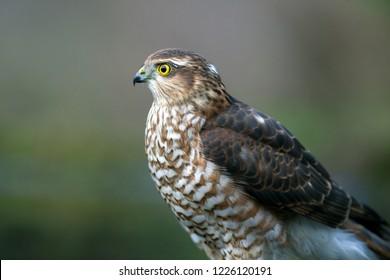 Portrait of a Eurasian Sparrowhawk, the Netherlands