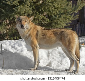 Portrait of Eurasian wolf (Canis lupus lupus) on snow in winter
