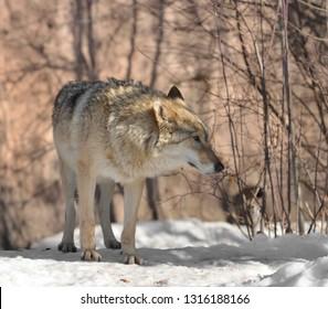 Portrait of Eurasian wolf (Canis lupus lupus) (female) in winter