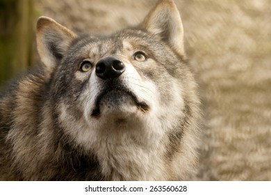 portrait of an eurasian wolf (canis lupus lupus) looking up