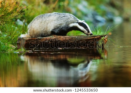 portrait-european-badger-meles-on-450w-1
