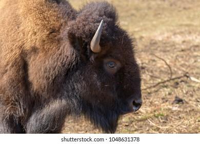 Portrait of a European bison