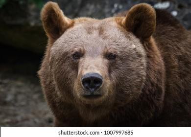 Portrait of a european brown bear