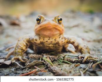 Portrait of European common brown frog (Rana Temporaria) sitting still on the mud