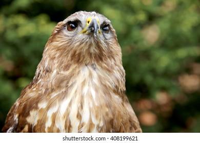 Portrait of a european common buzzard buteo buteo