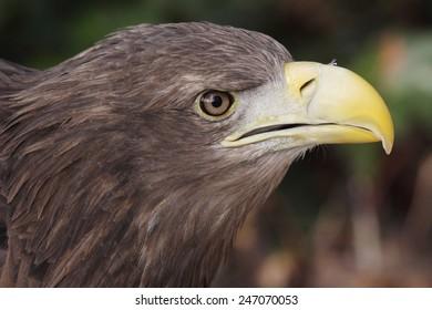 portrait of an european eagle
