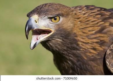 portrait of an european eagle with open beak