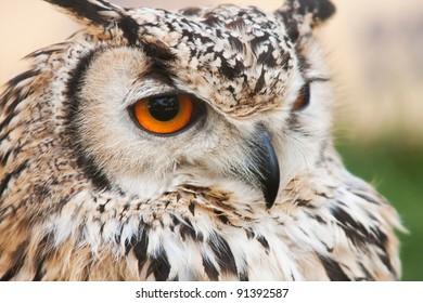 a portrait of an european eagle owl, the biggest European night raptor