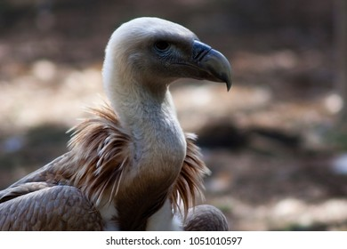 a portrait of an european griffon vulture
