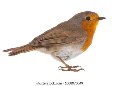 portrait European robin (Erithacus rubecula) isolated on a white background