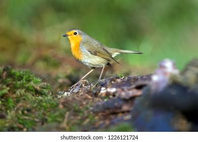 Portrait of a European Robin, the Netherlands