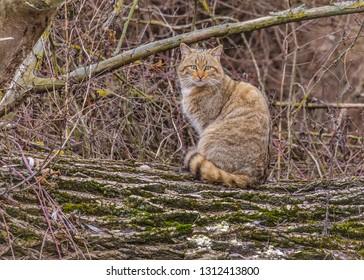Portrait of European wildcat (Felis silvestris) standing on a fallen tree in Danube Delta, Romania