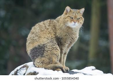 portrait of an european wildcat in winter