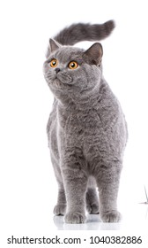 Portrait evil big gray cat British straight with yellow eyes on a white background