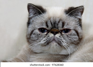 A portrait of an Exotic Shorthair cat  with its extraordinary  look