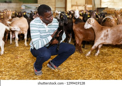 Portrait of experienced African American owner of goat farm looking after little goats