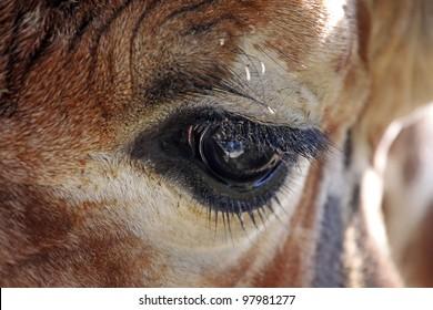 Portrait of a eye from  beautiful  giraffe