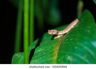 Portrait of Eyelash Palm-Pitviper (Bothriechis schlegelli) on top of leaf in the night