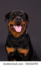 Portrait f beautiful young rottweiler. Cute young rottweiler dog on dark background, studio shot. Photo of rottweiler several months old.