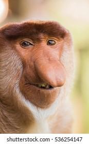 Portrait of fabulous long-nosed monkey, Borneo, Malaysia