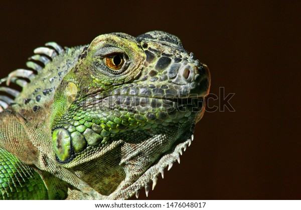 portrait-face-green-iguana-posing-600w-1