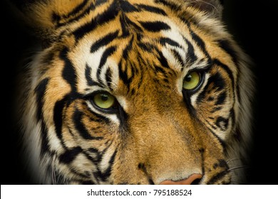 Portrait face tiger