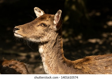 Portrait of fallow deer (dama, dama) in the forest. Photography of lively nature and wildlife.