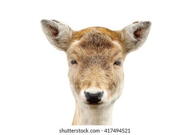 portrait of fallow deer hind isolated over white ( Dama dama )