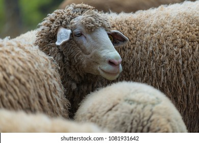Portrait of family sheep in the farm.