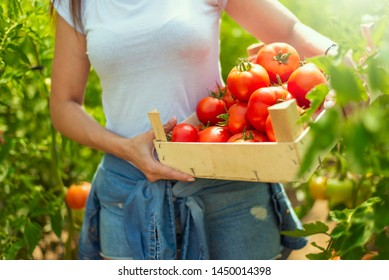 Portrait of farmer carrying tomatoes in wooden box in hothouse closeup