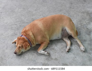 Portrait of the fat dog is sleeping on cement floor.