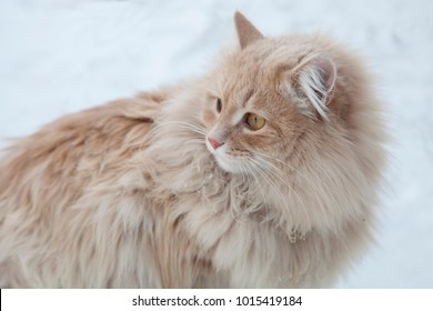 Portrait of a fat and a long-haired redhead cat on snow background. A ginger cat in the snow against the backdrop of snowflakes. Photo image