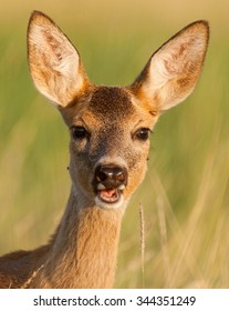 Portrait of a fawn.