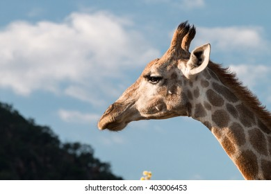 Portrait of a feeding giraffe (Giraffa camelopardalis) over blue sky with white clouds in Pilanesberg, South Africa