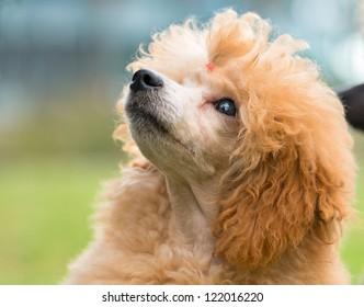 Portrait of a female apricot poodle dog