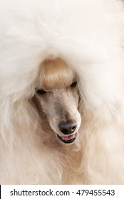 Portrait of a female apricot poodle dog in outdoore